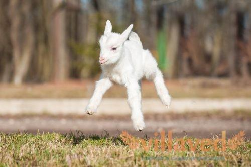 Карликовые и мини породы коз