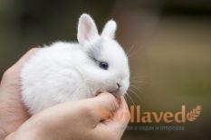 Короткошерстные карликовые кролики