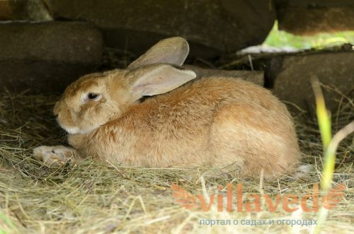 Мясные породы кроликов