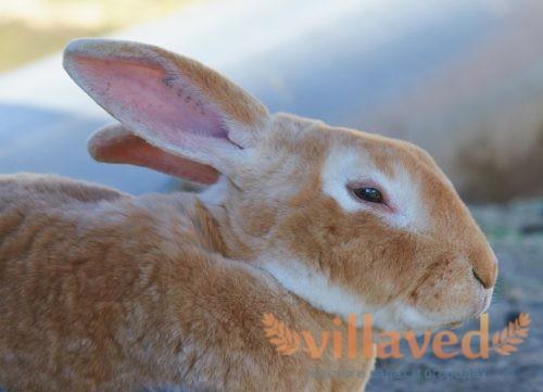 Рыжий окрас кролика