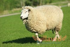 Куйбышевская порода овец