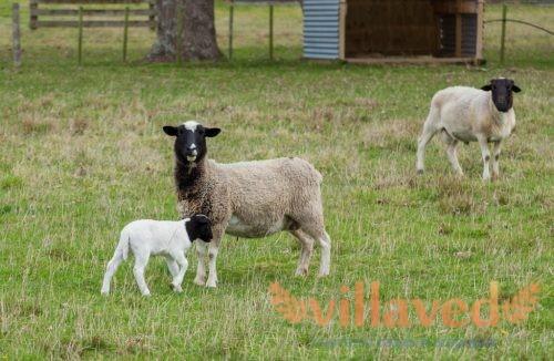 Овцы Дорпер имеют выразительный окрас