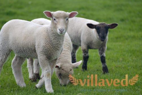 Порода овец Дорсет