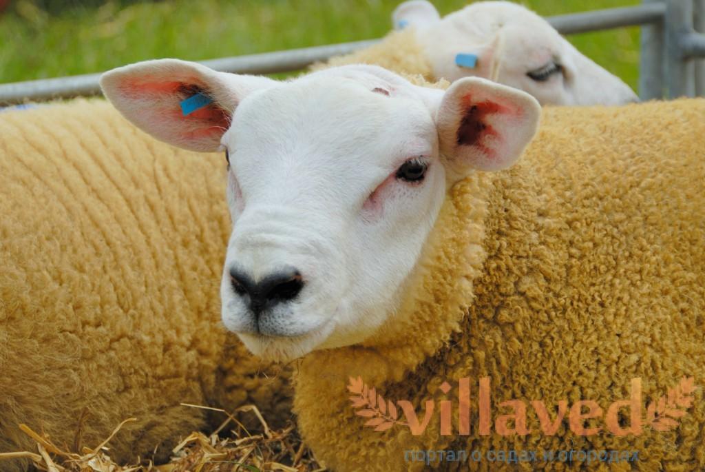 Плюсы и минусы породы овец тексель