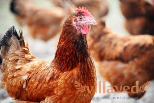 Полтавская порода кур
