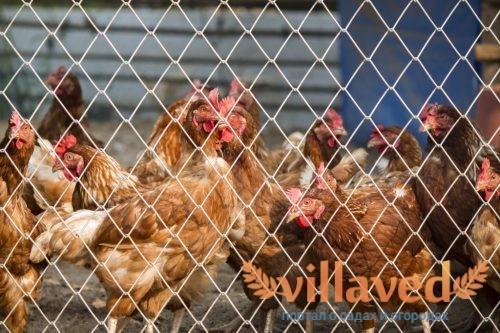 Птичий грипп у кур