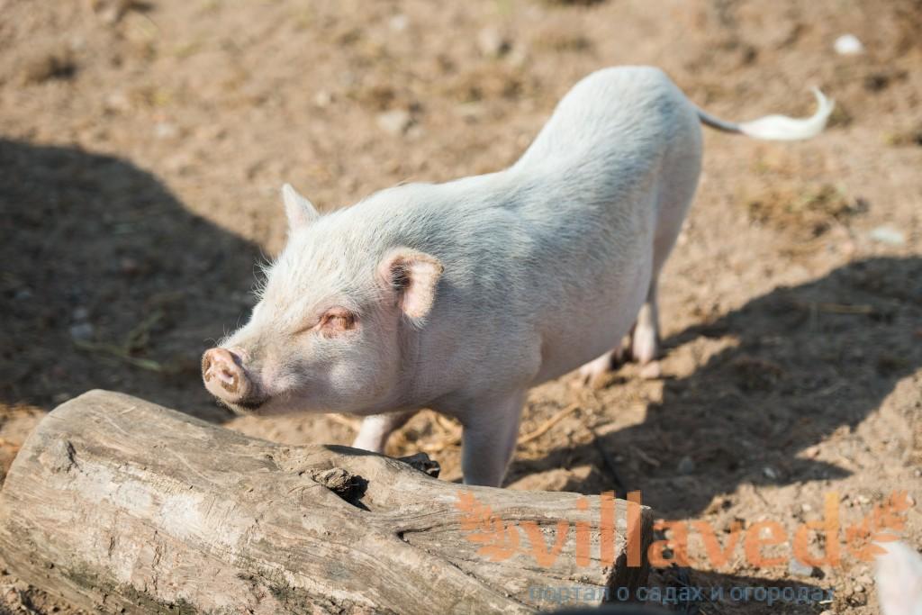 Рожа свиней: вакцинация, симптомы, лечение и профилактика