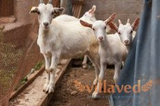 Русская белая порода коз