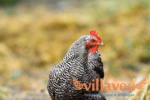 Серые породы кур