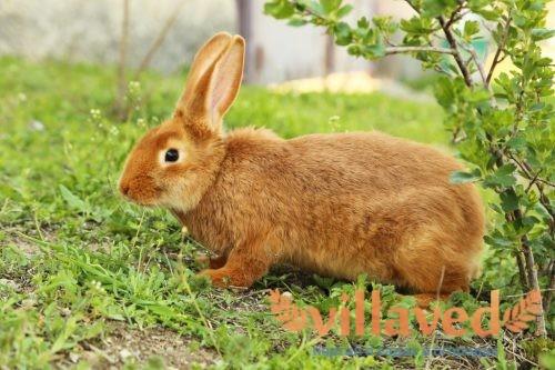 Если кролик закидывает голову набок