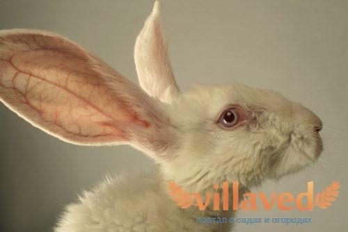 Глаза у кролика не должны гноиться или закисать