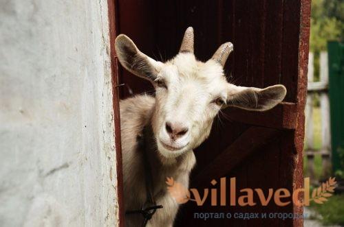 Клички для коз