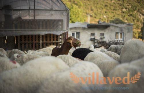 Разведение коз на фермах как бизнес