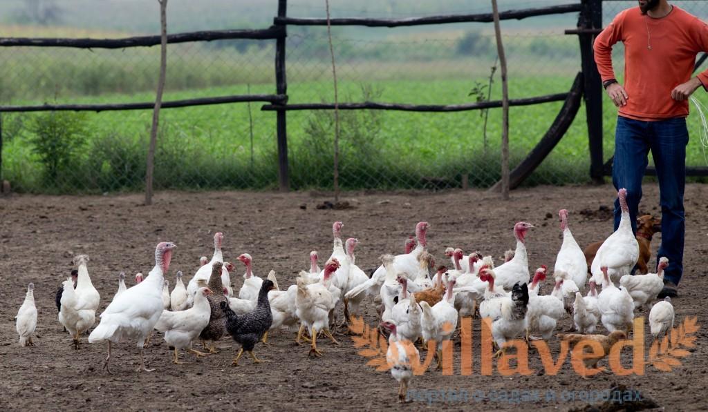 Индюшиная ферма как бизнес: выгодно или нет