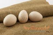 Инкубация индюшиных яиц в домашних условиях