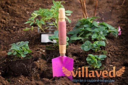 Как посадить рассаду клубники в домашних условиях