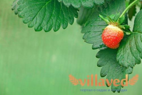 Как посадить ремонтантную клубнику семенами