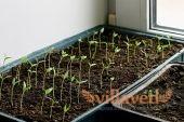 Как правильно посадить рассаду баклажан
