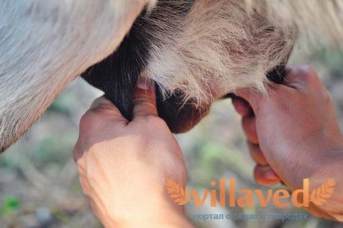 Как раздоить козу без окота