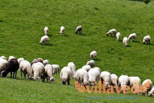 Курдючные бараны и овцы