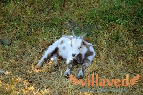 Обморочные (Миотонические) козы