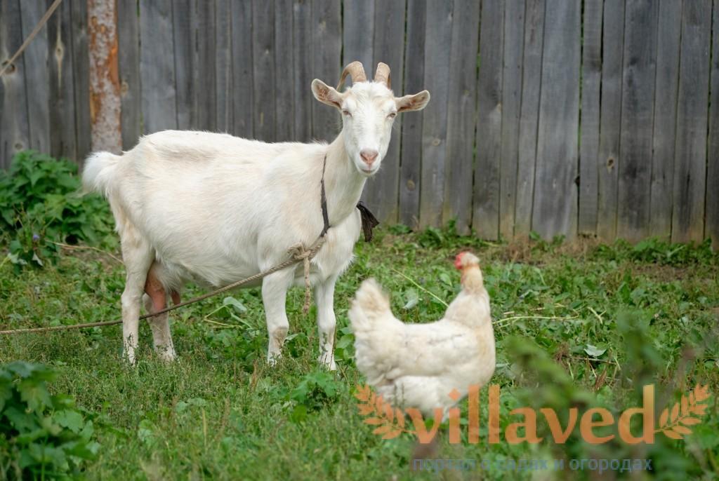 почему коза не ест после окота