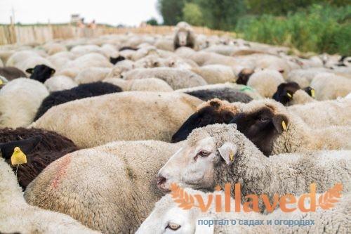 Породы шерстных овец