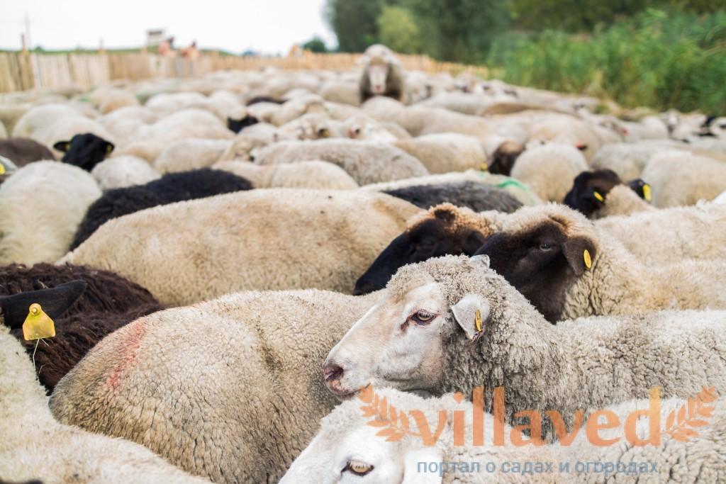 Различаются ли шерсть овцы и шерсть барана