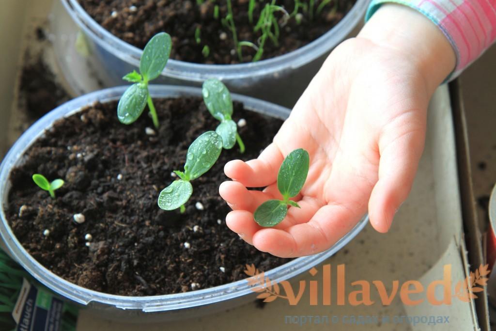 Выращивание огурцов в пластиковых 5 литровых бутылках выращивание 61