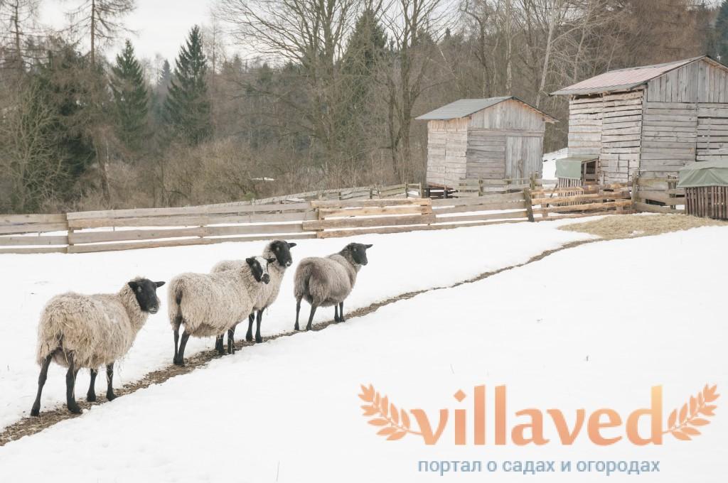 Романовские овцы содержание и кормление