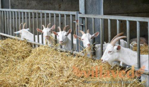 Сколько козе нужно сена на зиму