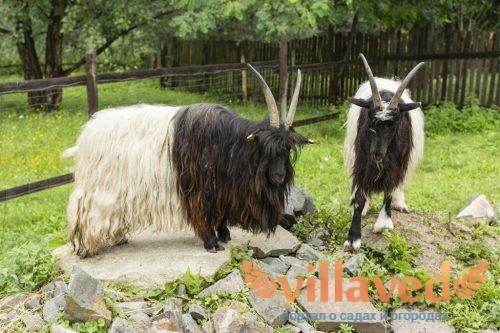Случка коз и охота