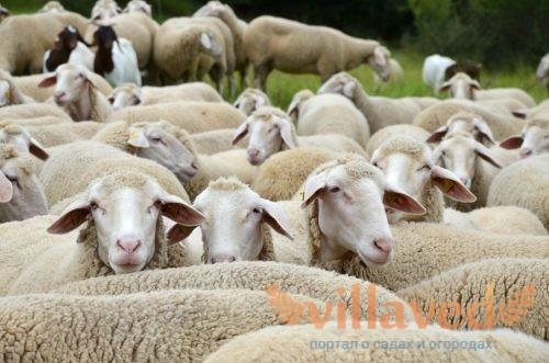 Западно-сибирская порода овец
