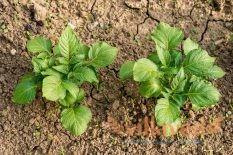 Лунный календарь посадки картофеля