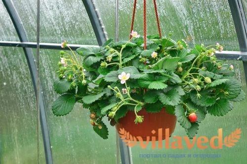 Как посадить клубнику в горшках