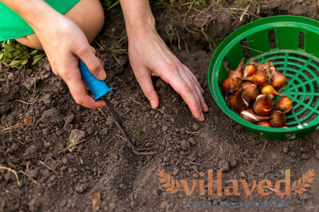 Когда лучше сажать лук на головку весной или осенью 51