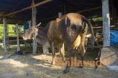 Послеродовой парез у коров