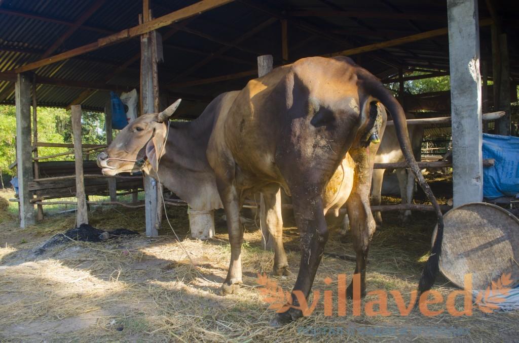 Предродовое состояние коровы