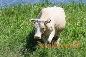 Сколько длится беременность коровы