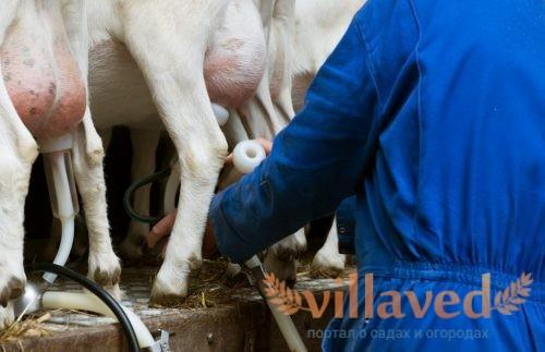 Станок для доения коз