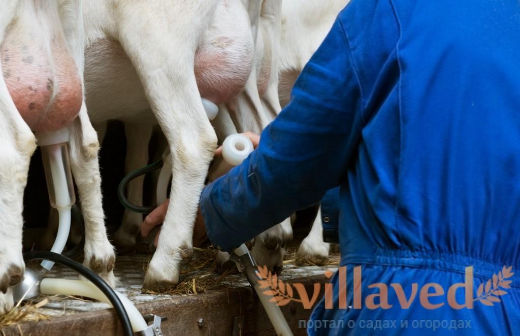 Станок для доения коз: как сделать