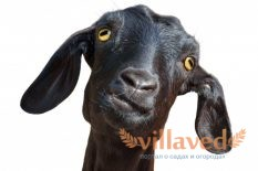 У козы не отходит послед