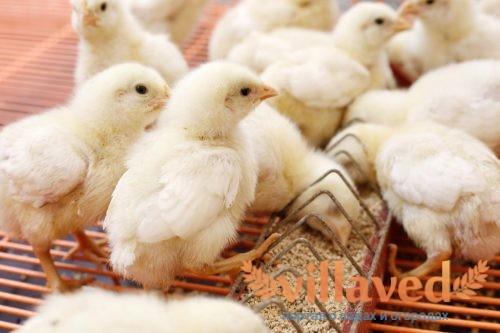 Цыплята в первые дни жизни
