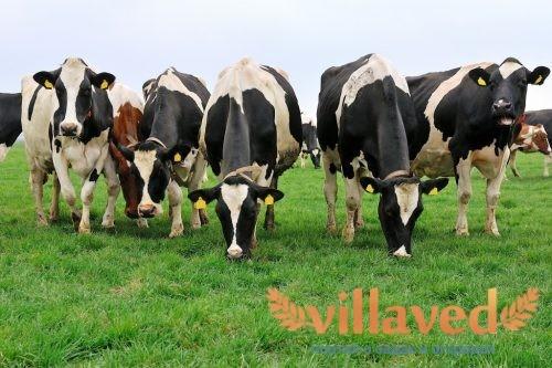 Демодекоз коров