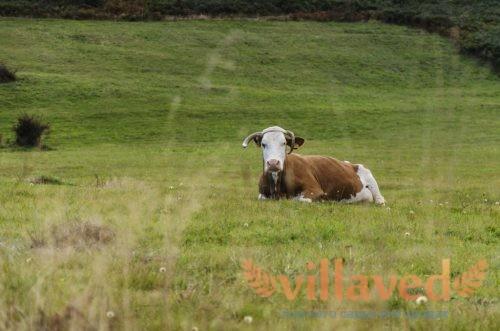 Эндометрит у коров