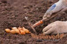 Когда и как сажать лук севок в открытый грунт
