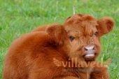 Комолая корова