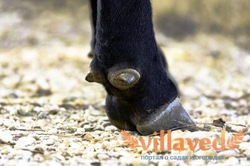 Копытная гниль у коров