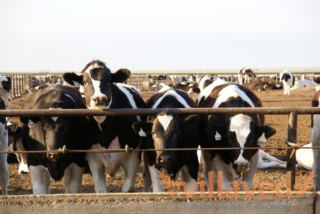 Самый эффективный откорм бычков на мясо в дома рацион видео