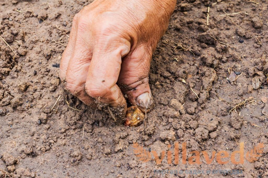 Как и когда сажать (садить) лук севок в 2019 году. Выращивание и уход в открытом грунте